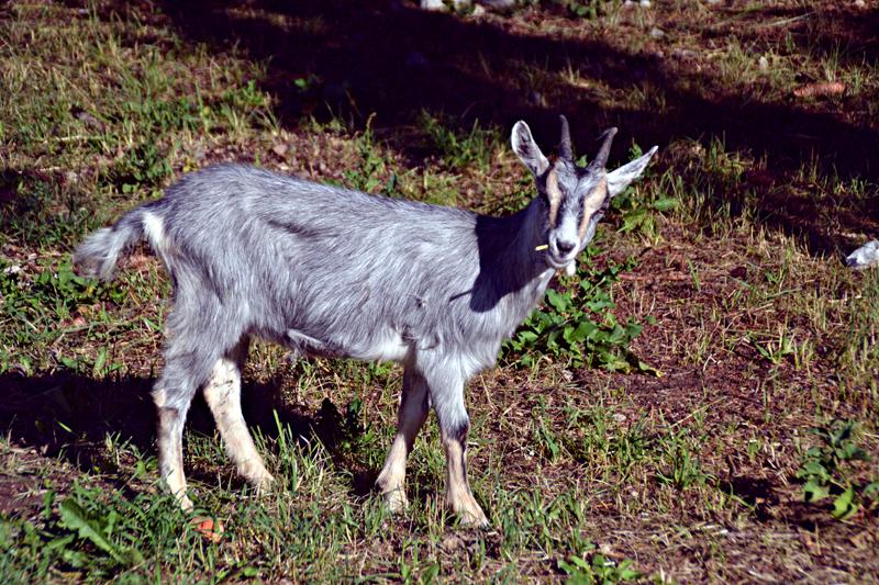 Lungo avisio istanti di bellezza for Cattura per capre